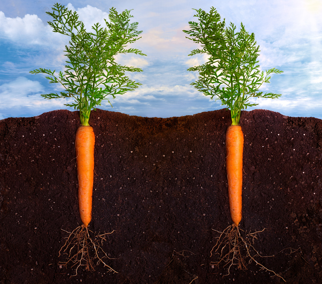 how to grow giant carrots
